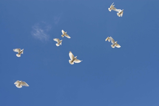 doves flying in the air representing peace